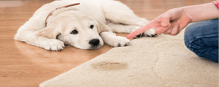 Carpet Pet Urine Stain Removal Bondi Beach